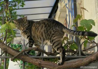 Chat vigneron
